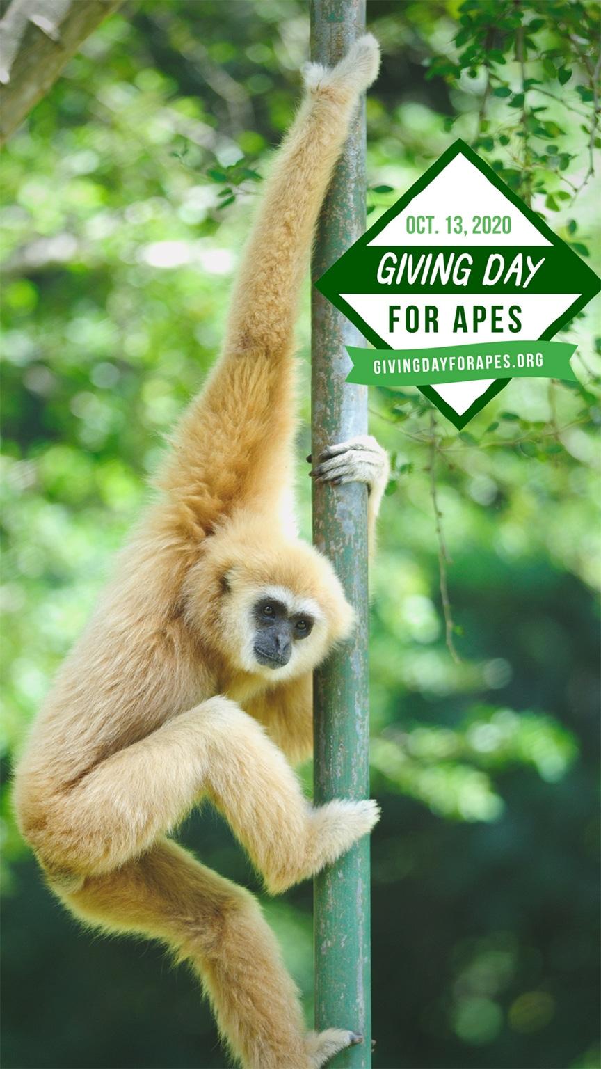 A gibbon climbs a branch.